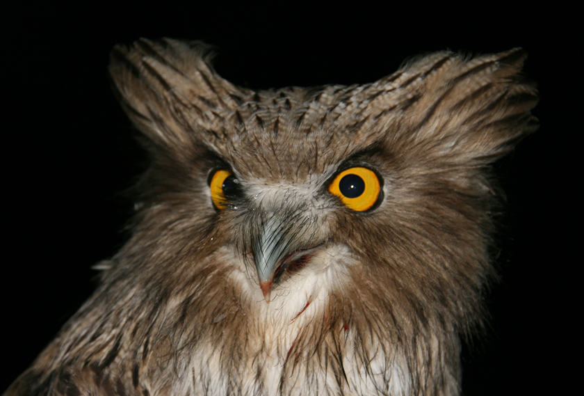 They may look like Muppets, but Blakiston's fish owls are fierce predators. Photo: J. Slaght/WCS Russia.